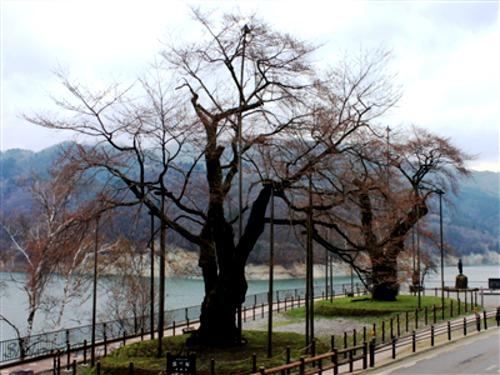 4月22日(火)「荘川桜」開花情報