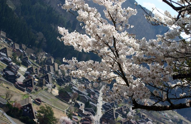 世界遺産 白川郷合掌集落 桜は見頃のピークを迎える見込みです!白川郷の風を感じながらのお花見散歩をお楽しみください! ①