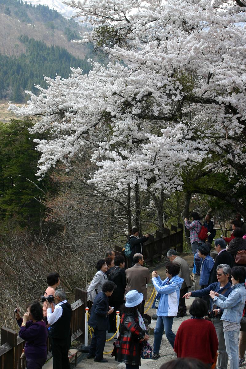 世界遺産 白川郷合掌集落 桜は見頃のピークを迎える見込みです!白川郷の風を感じながらのお花見散歩をお楽しみください! ②