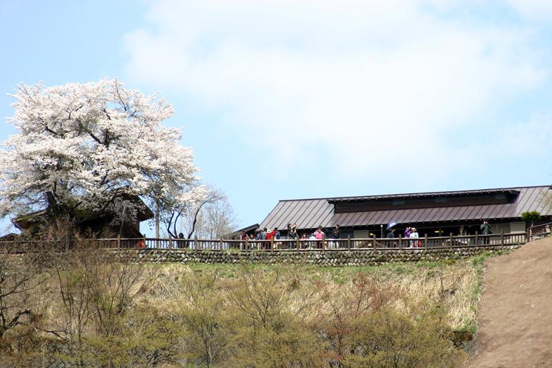 世界遺産 白川郷合掌集落 桜は見頃のピークを迎える見込みです!白川郷の風を感じながらのお花見散歩をお楽しみください! ③
