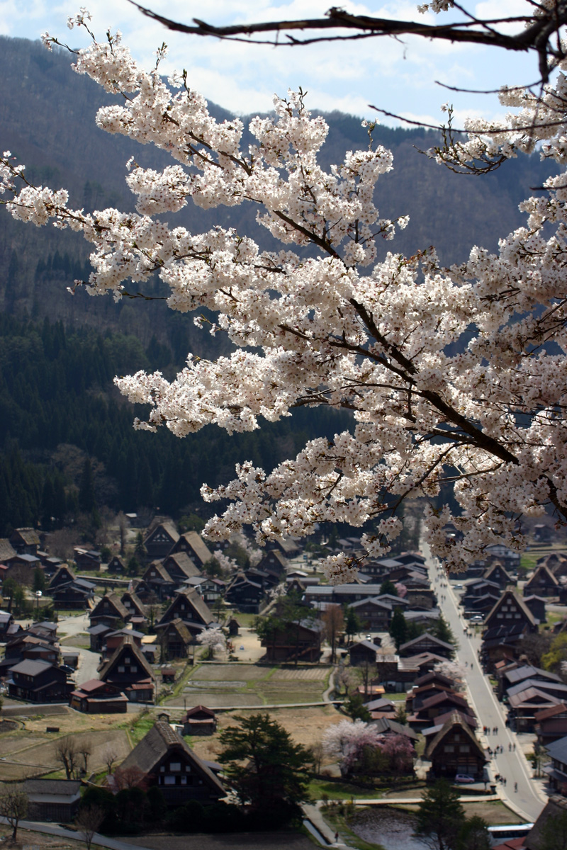 世界遺産 白川郷合掌集落 桜は見頃のピークを迎える見込みです!白川郷の風を感じながらのお花見散歩をお楽しみください! ④