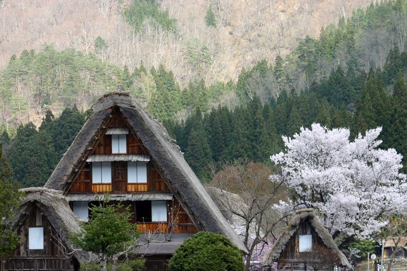 世界遺産 白川郷合掌集落 桜は見頃のピークを迎える見込みです!白川郷の風を感じながらのお花見散歩をお楽しみください! ⑥