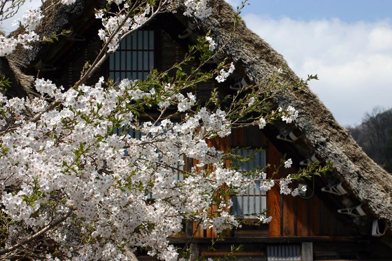 世界遺産 白川郷合掌集落 桜は見頃のピークを迎える見込みです!白川郷の風を感じながらのお花見散歩をお楽しみください! ⑦