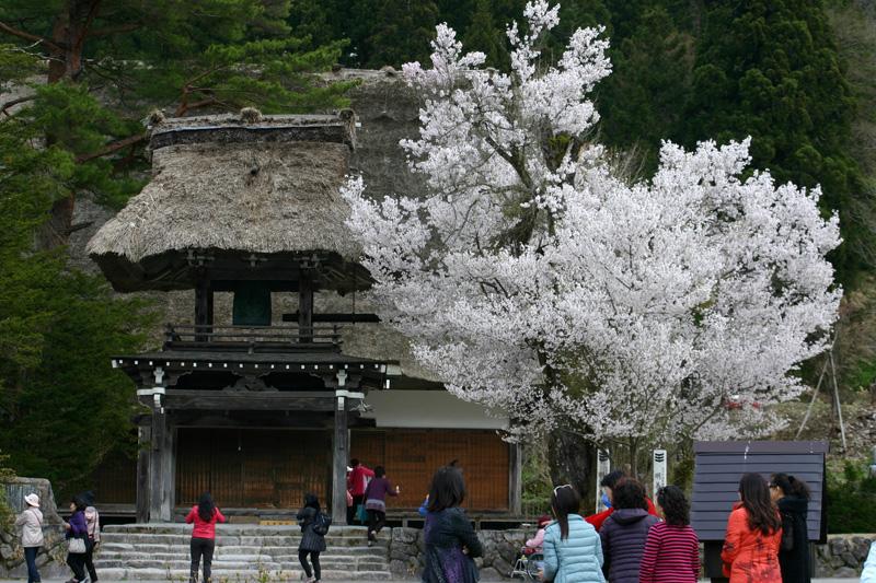 世界遺産 白川郷合掌集落 桜は見頃のピークを迎える見込みです!白川郷の風を感じながらのお花見散歩をお楽しみください! ⑧
