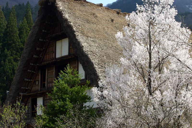 世界遺産 白川郷合掌集落 桜は見頃のピークを迎える見込みです!白川郷の風を感じながらのお花見散歩をお楽しみください! ⑨