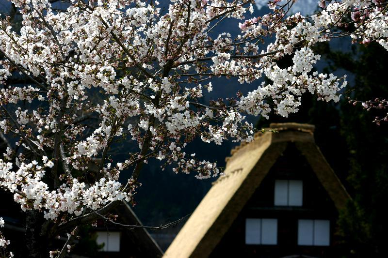 いよいよゴールデンウィーク♪♪♪4月26日(土)~5月6日(火)この大型連休はどう過ごしますか? 慌ただしい日常を少し離れて、サクラ咲く爽やかな風が吹き抜ける 白川郷の豊かな自然を満喫 ⑥