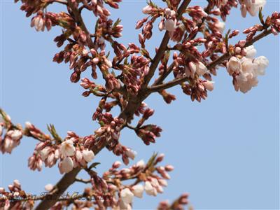 光輪寺桜の一部の枝