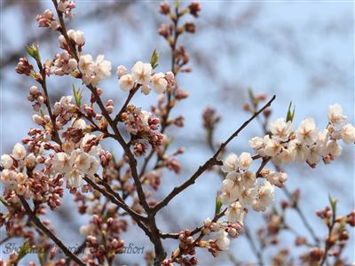 照蓮寺桜の一部の枝