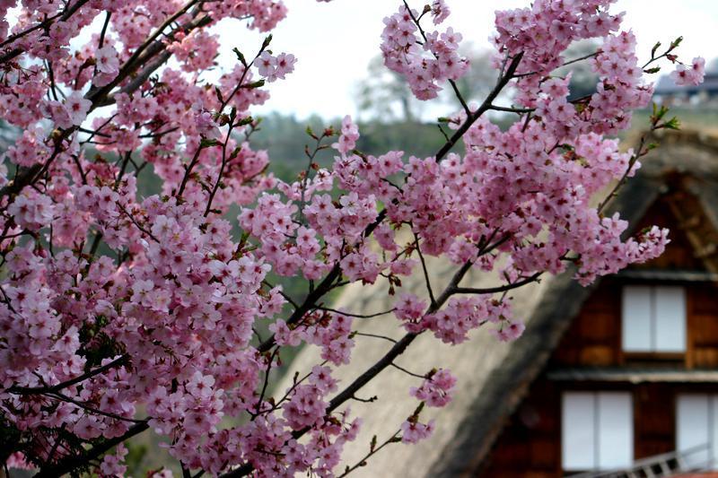 いつもとは違うスタイルで桜を楽しむなら、合掌造りとのお花見はいかが?ゴールデンウィークは世界遺産 白川郷へ ①