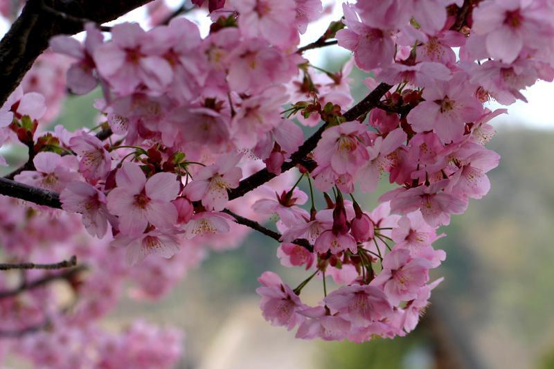 いつもとは違うスタイルで桜を楽しむなら、合掌造りとのお花見はいかが?ゴールデンウィークは世界遺産 白川郷へ ②
