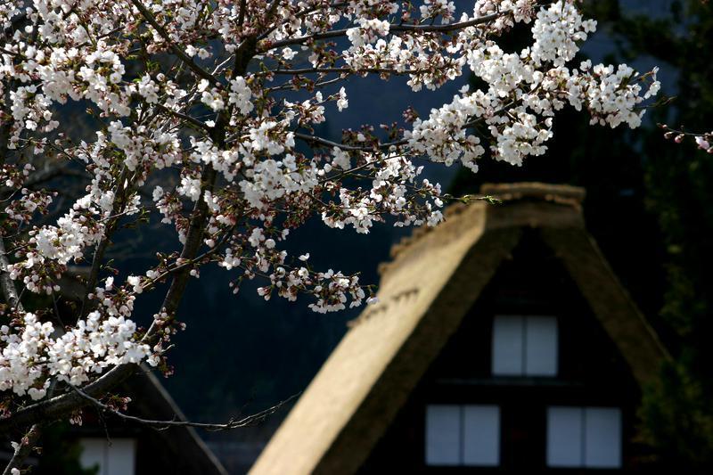 いつもとは違うスタイルで桜を楽しむなら、合掌造りとのお花見はいかが?ゴールデンウィークは世界遺産 白川郷へ ⑨
