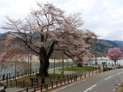 荘川桜 平成26年4月28日(月)①