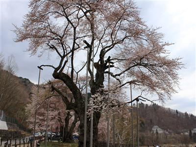 荘川桜 平成26年4月28日(月)②