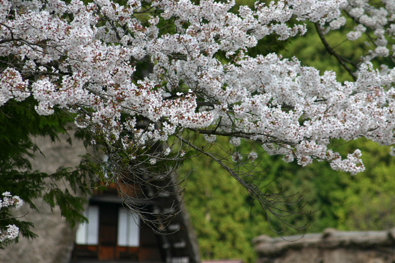 ゴールデンウィーク後半スタート桜の花が咲く世界遺産 白川郷!今年は飛び石連休となり、ちょっと旅行にはなあ・・・とお考えの皆様に♪ ⑨