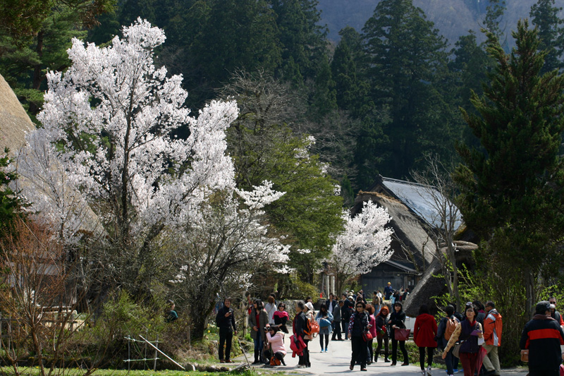 ゴールデンウィーク後半スタート桜の花が咲く世界遺産 白川郷!今年は飛び石連休となり、ちょっと旅行にはなあ・・・とお考えの皆様に♪ ⑪