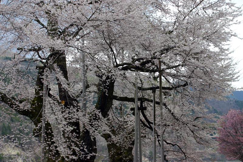 ゴールデンウィーク旅行~荘川町⇔世界遺産 白川郷合掌集落 国道156号線 さくら街道 お花見ドライブ!!荘川桜 (御母衣ダム) 不可能といわれた移植を可能にし、見事咲き甦った奇跡の桜見頃今年は美しい当たり年見るべし。。⑬