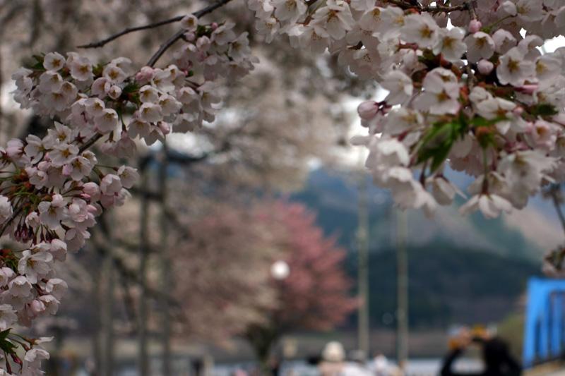 荘川桜を花見⇒世界遺産 白川郷合掌集落へ行って観光散策 ゴールデンウィークお出かけ旅行 ①