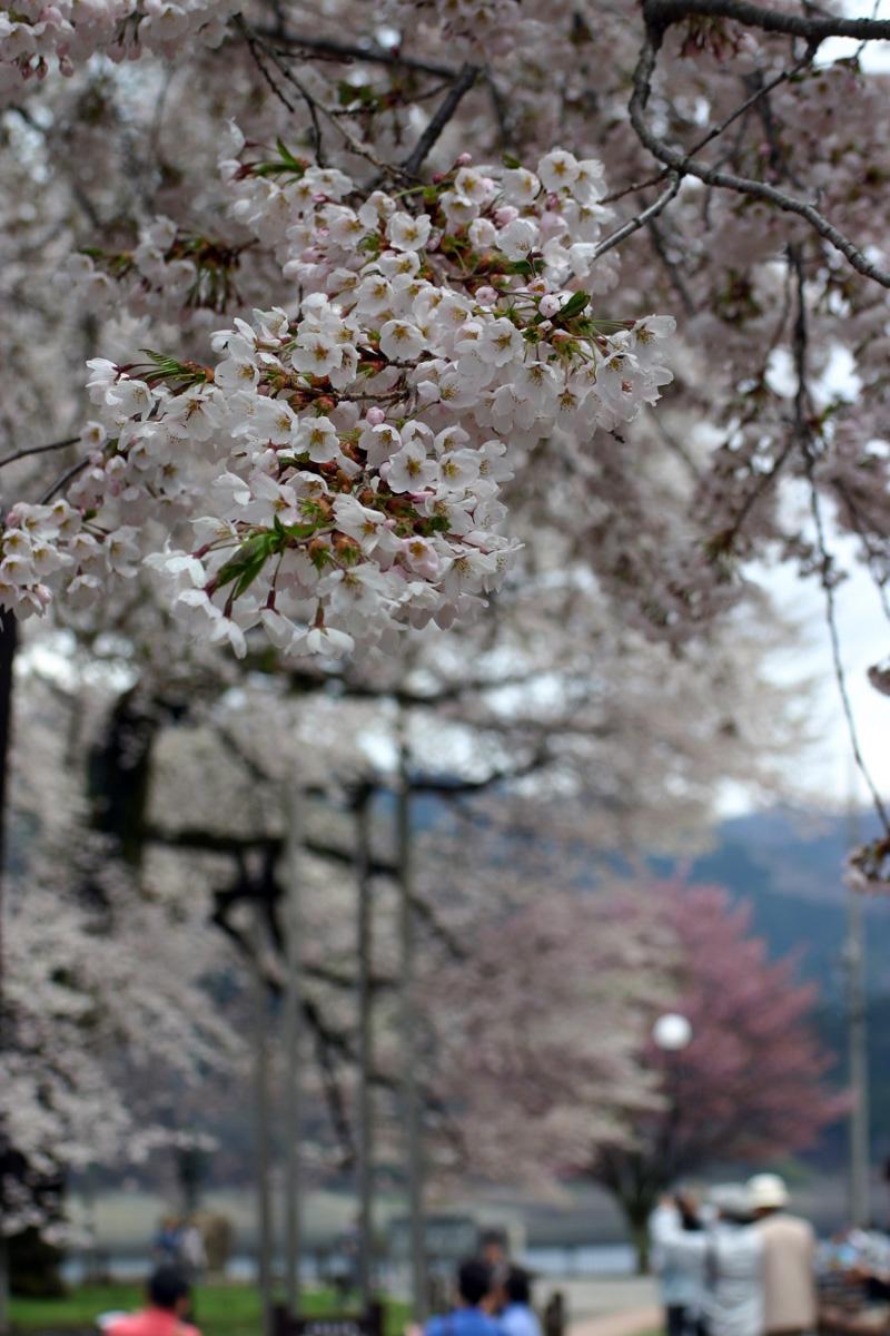荘川桜を花見⇒世界遺産 白川郷合掌集落へ行って観光散策 ゴールデンウィークお出かけ旅行 ②