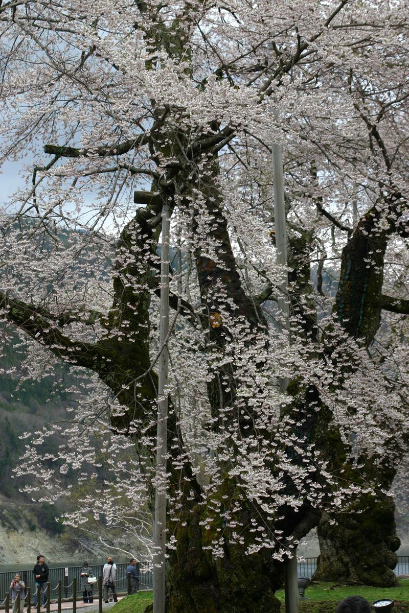 荘川桜を花見⇒世界遺産 白川郷合掌集落へ行って観光散策 ゴールデンウィークお出かけ旅行 ④