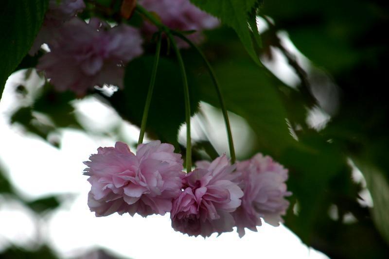 遅れてやってくる春の風物詩 おおた桜 開花~新緑の色増す季節 世界遺産 白川郷でのひと時 気の合う人たちと合掌集落でわいわい楽しくお過ごしになりませんか? ①