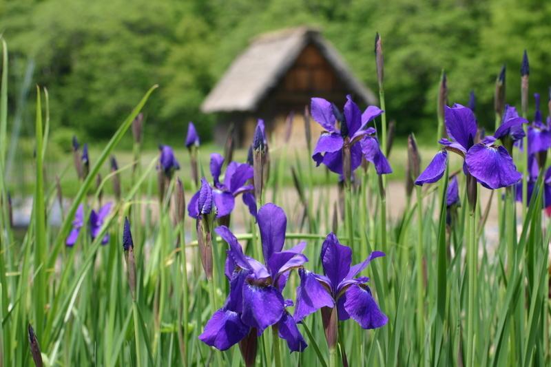 新緑から初夏へと季節は移り本格的な夏の訪れを静かに待つ季節~世界遺産 白川郷~ ⑥