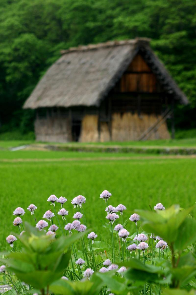 「合掌造り」と呼ばれる茅葺き屋根の家屋が立ち並び、郷愁を誘う風景が広がる~世界遺産 白川郷~  ⑦