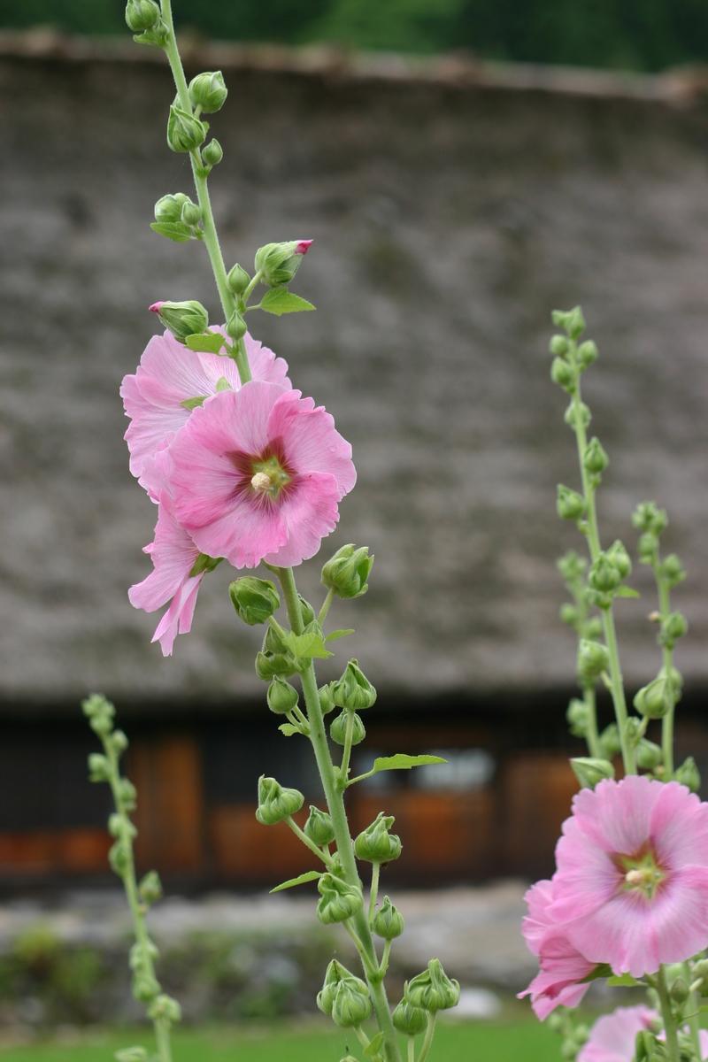 夏休みは家族みんなで温泉旅行へ出かけよう♪~世界遺産 白川郷~懐かしいあの頃の夏休みを思い出させてくれる、日本の夏の原風景に浸る休日をどうぞ! ⑥