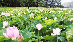 白川村木谷で民宿「白弓荘」を営む新谷とき子さん(70)所有の休耕田で、ハスの花が見ごろを迎え、近所の人の目を楽しませている