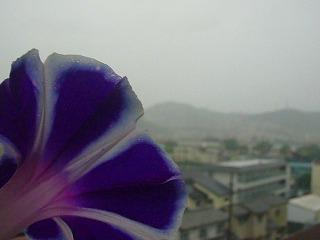 雨のあさがお