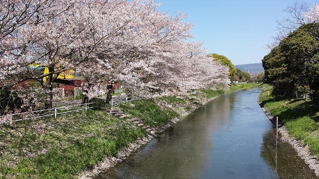 40K桜1