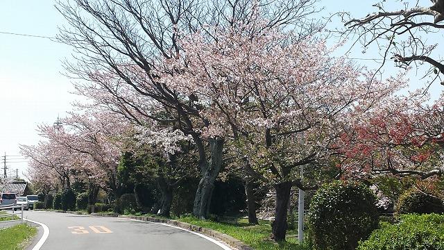 40K桜2