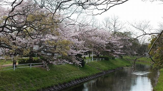 40K桜4