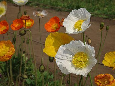poppy201404c.jpg
