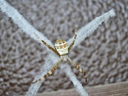 コガタコガネグモ