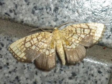 アトグロアミメエダシャク