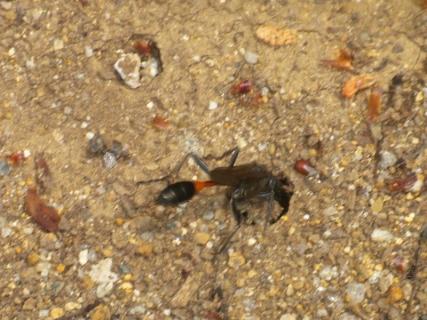 サトジガバチ