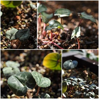 coum-leaf