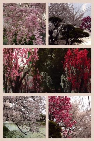 桜がいっぱい!