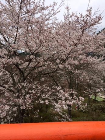 大橋の桜!