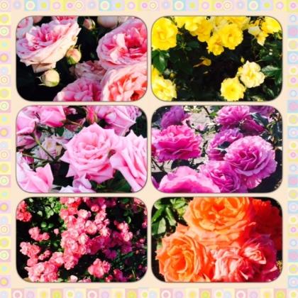美しきバラたち!