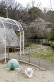 ベルデ名谷・住宅裏の公園に咲く桜