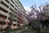 ベルデ名谷・2番館前に咲く桜