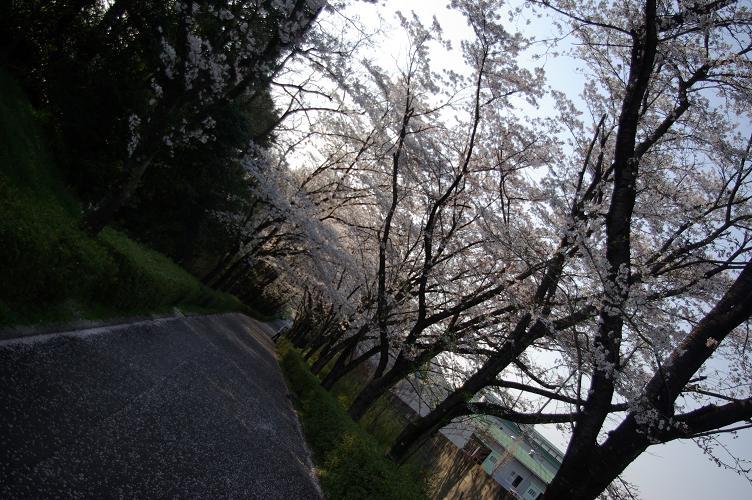sakura002.jpg