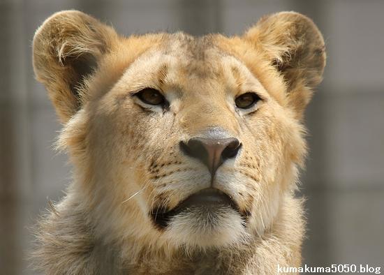 ライオン_976