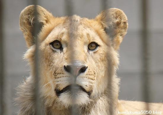 ライオン_977