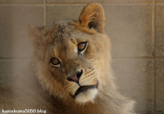 ライオン_982