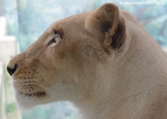 ホワイトライオン_101