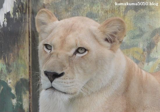 ホワイトライオン_103