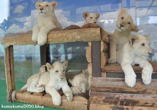 ホワイトライオンの赤ちゃん_43