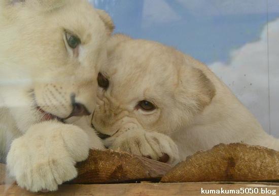 ホワイトライオンの赤ちゃん_48